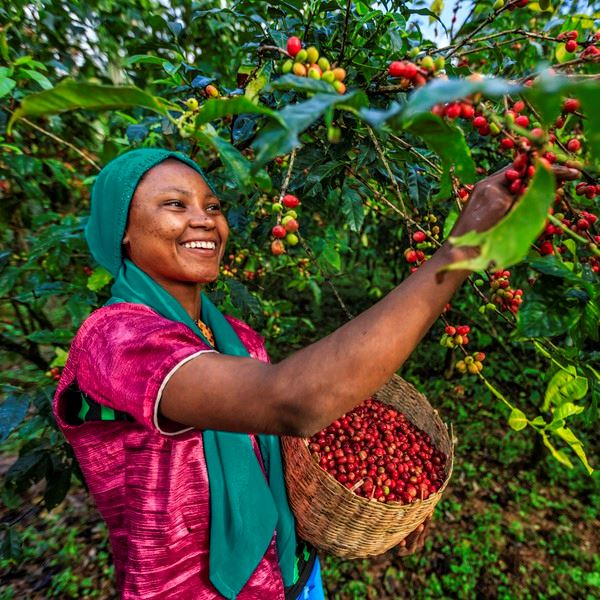 Young African woman collecting coffee berries from a coffee plant, Ethiopia, Africa. There are several species of Coffea - the coffee plant. The finest quality of Coffea being Arabica, which originated in the highlands of Ethiopia. Arabica represents almost 60% of the world's coffee production..